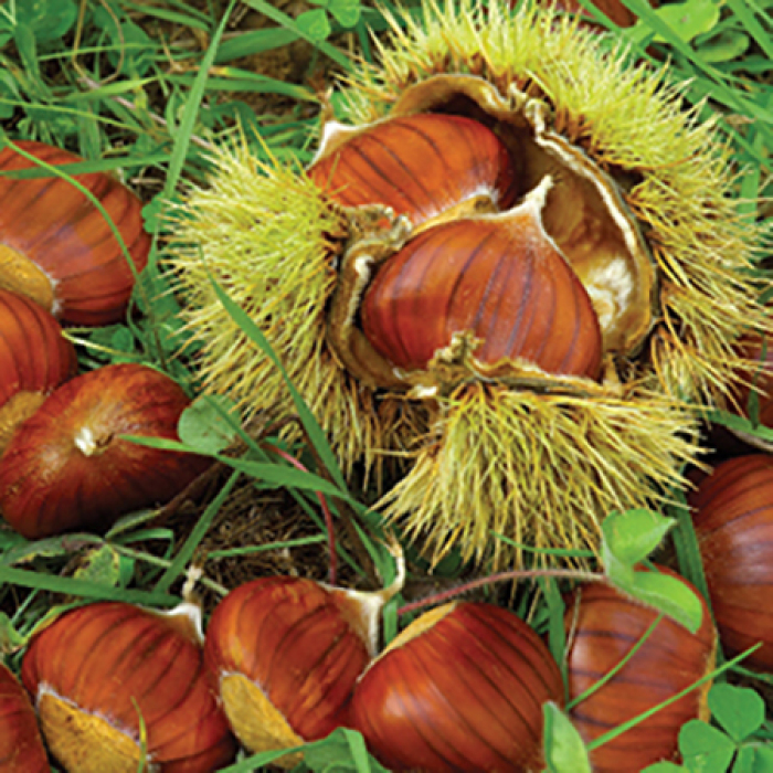 Chestnut Tree Offer