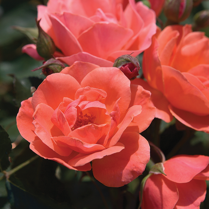 Coral Knock Out Rose