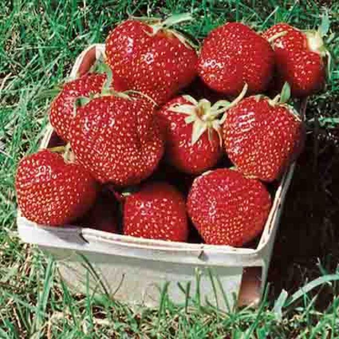 Ozark Beauty Strawberry