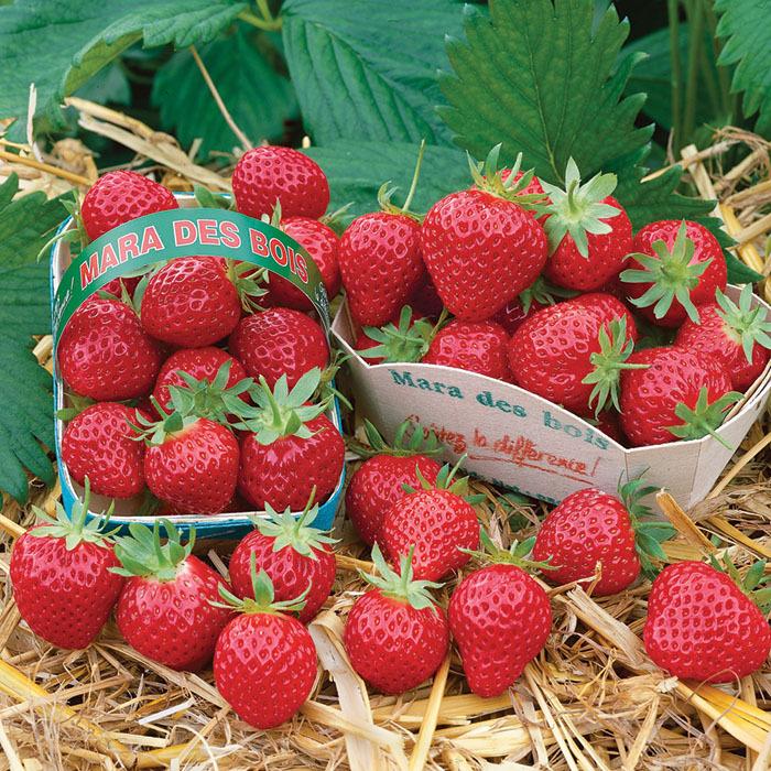 Mara Des Bois Strawberry Plants