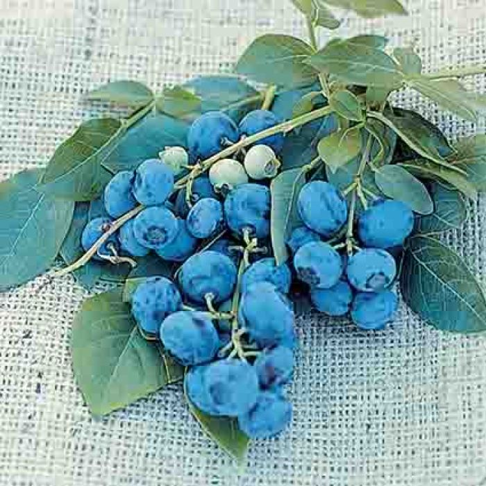 Early Blueray Blueberry