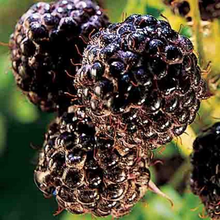 Bristol Black Raspberry