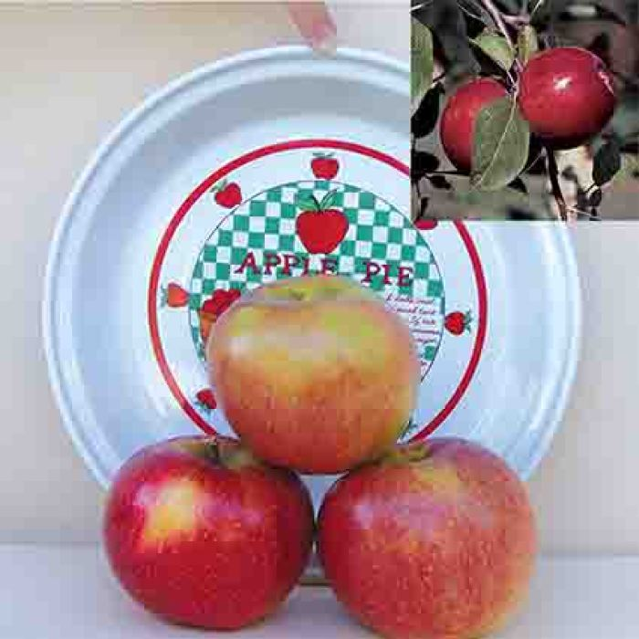 Semi Dwarf Apple Tree Sale - 1 Each Of 2 Varieties