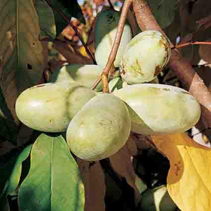 Pawpaw Fruiting Pair