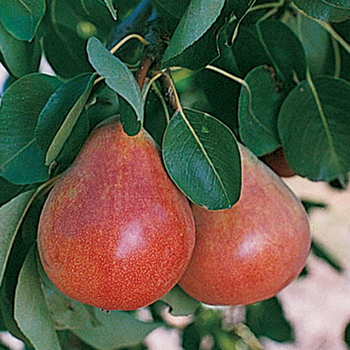 Dwarft Ubileen Pear Tree