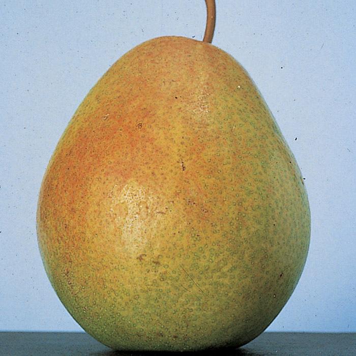Standard Flemish Beauty Pear Tree