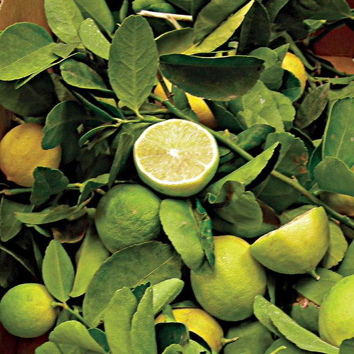Bearss Hybrid Lime