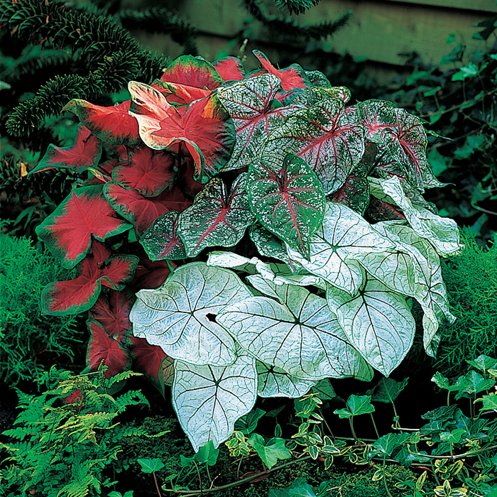 Fancy Leaf Caladium Mixture Caladiums R H Shumway S Company