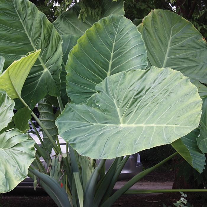 Gigantea 'thai Giant' Colocasia