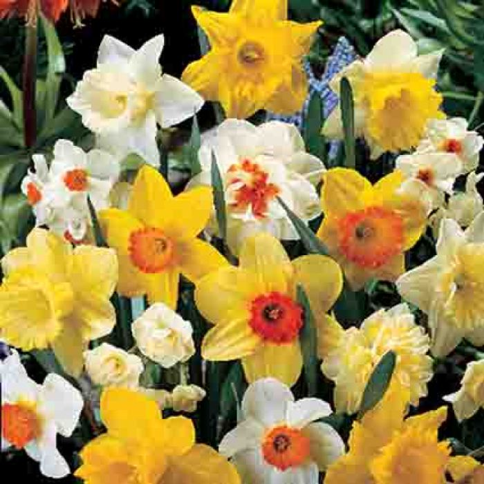 Deluxe Mixed Daffodil(25 Bulbs)