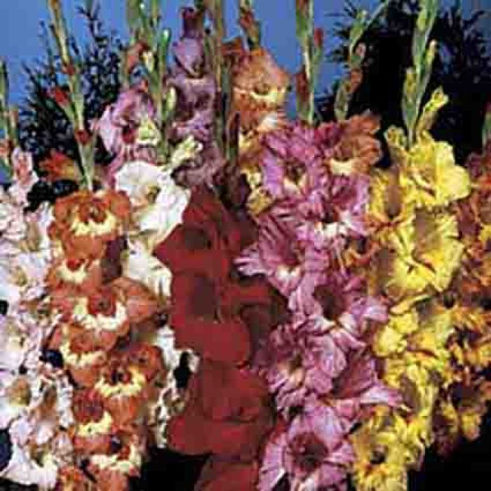 Rainbow Gladiolus Mix