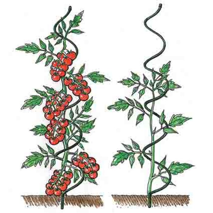 Tomato Plant Spirals