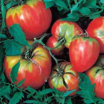 Giant Oxheart Tomato