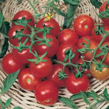 Large Red Cherry Tomato