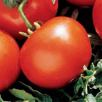 Marglobe Tomato