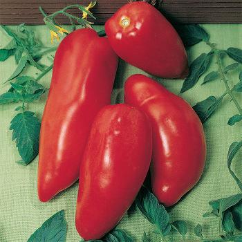 Opalka Tomato Plants