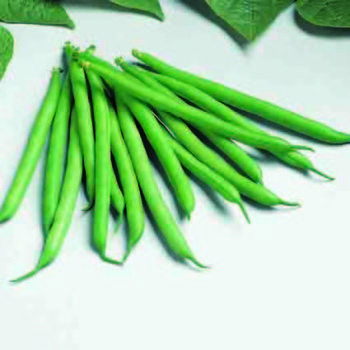 Bountiful Stringless Bush Bean
