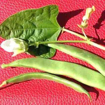 Tennessee Green Pod Bush Bean