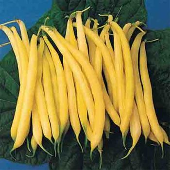 Golden Rod Bush Bean