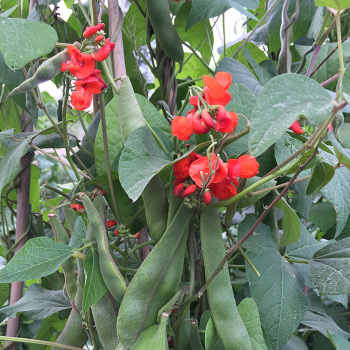 Blackcoat Runner Bean