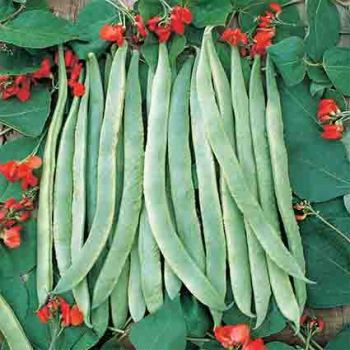Scarlet Runner Pole Bean