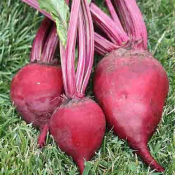 Crosbys Extra Early Egyptian Beet
