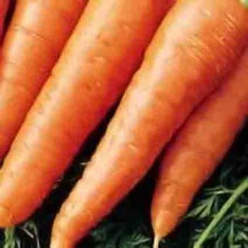 Early Chantenay Carrot