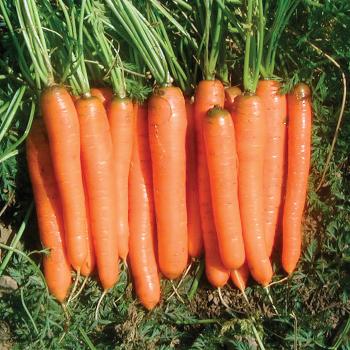 Yaya Hybrid Carrot Seed Tape