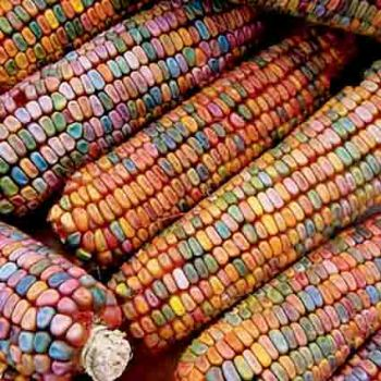 Earth Tones Dent Corn