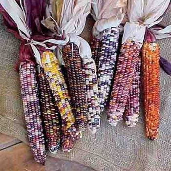 Rainbow Indian Corn