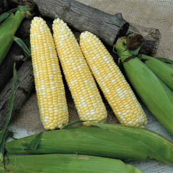 Catalyst Hybrid Sweet Corn
