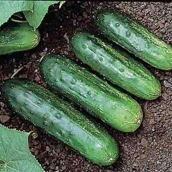 H-19 Little Leaf Cucumber