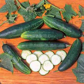 Longfellow Cucumber