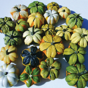 Daisy Mix Gourds