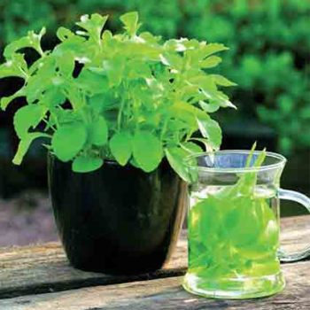 Sweet Stevia Herb