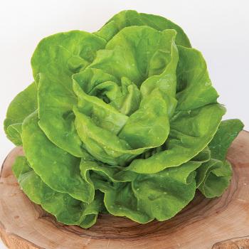 Gustav's Salad Lettuce