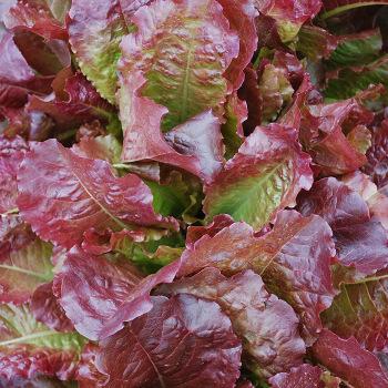 Outredgeous Lettuce
