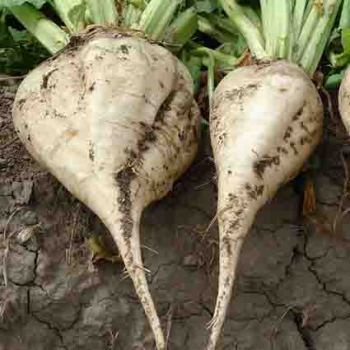 Bucklunch Sugar Beet