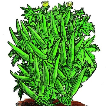 Cowhorn Okra - 50 seeds