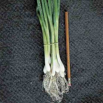 Evergreen Bunching Scallions