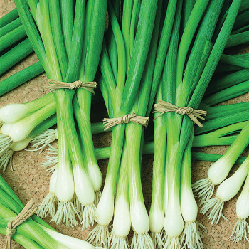 Warrior Bunching Onion