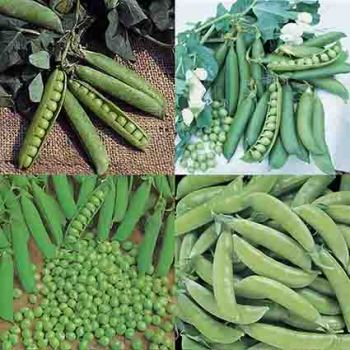 Pea Collection