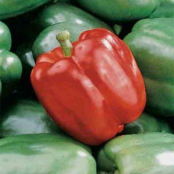 King Arthur Hybrid Pepper