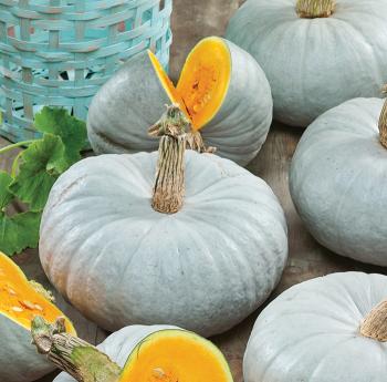 Blue Prince Hybrid Pumpkin