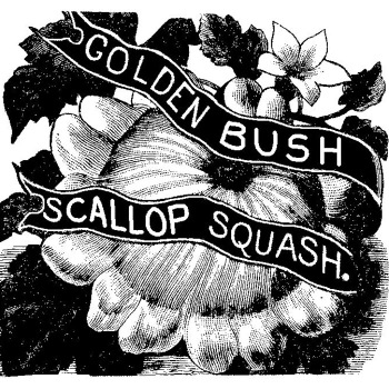 Golden Bush Scallop Squash