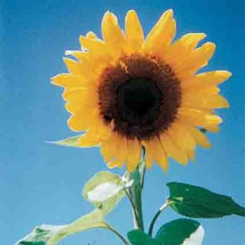 Giant Grey Stripe Sunflower