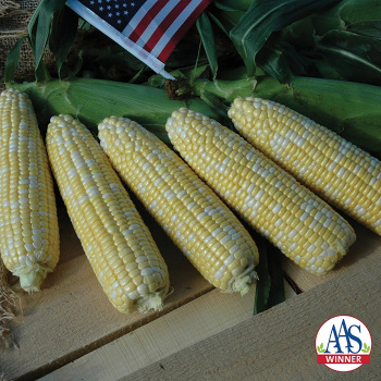 American Dream Hybrid Sweet Corn