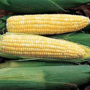 Ambrosia Sweet Corn