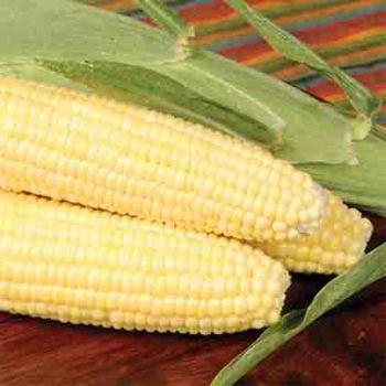 Bodacious Rm Sweet Corn