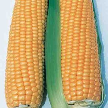 Illini Xtra Sweet Sweet Corn